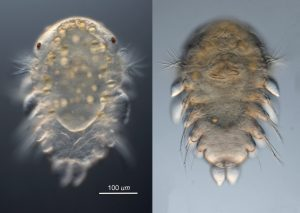 larva of Ophiodromus pugettensis