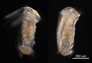 larva of Neosabellaria cementarium