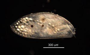 cyprid of Balanus crenatus