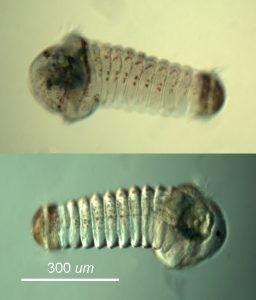 larva of Micronephtys cornuta