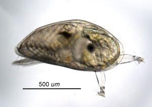 cyprid larva of Balanus nubilis-1