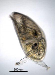 cyprid larva of Balanus nubilis-2