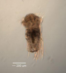 nectochaete of Neosabellaria cementarium