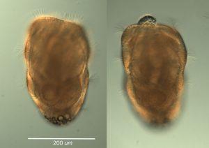 doliolaria of Leptosynapta sp